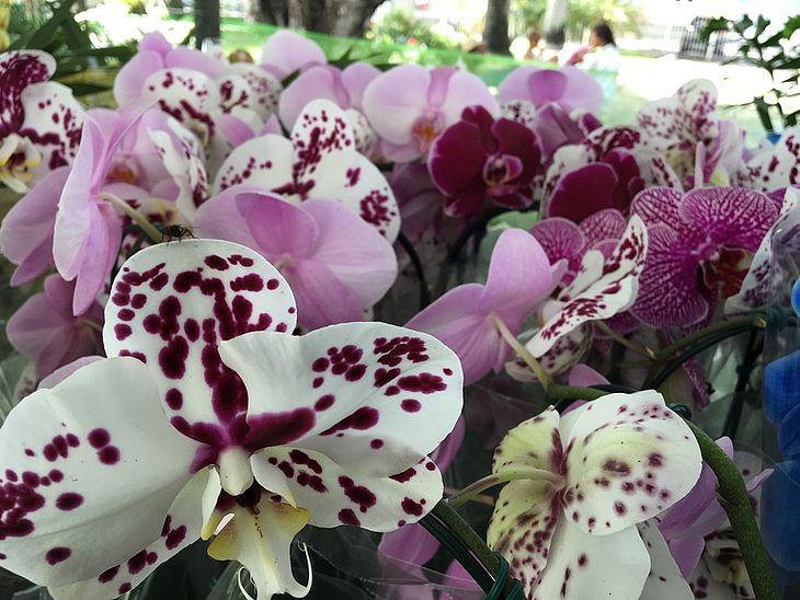 Feira de Flores de Holambra em Cuiabá é prorrogada até o dia 16 de dezembro
