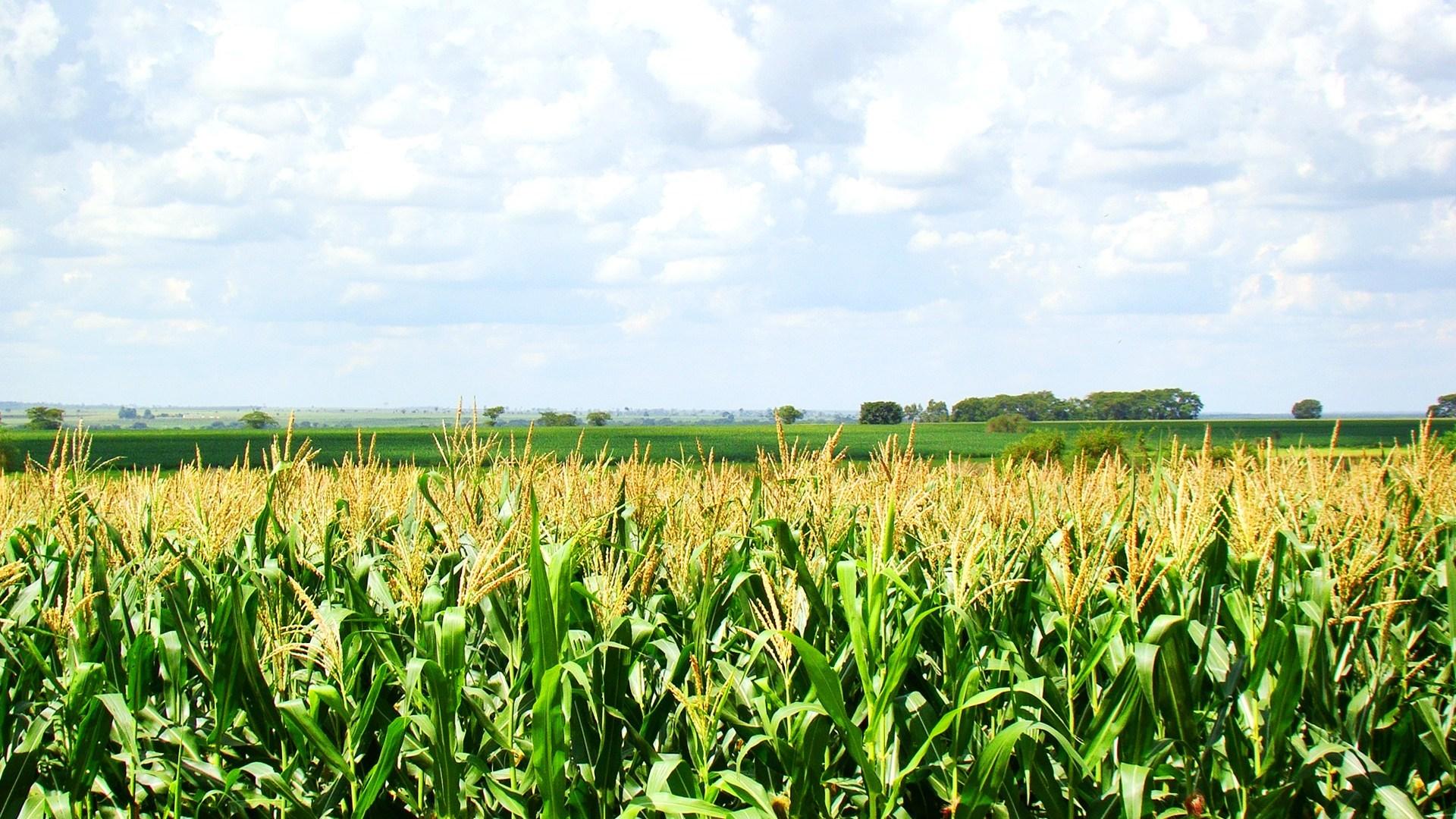 Produtores colhem 25% da produção de Milho em Mato Grosso