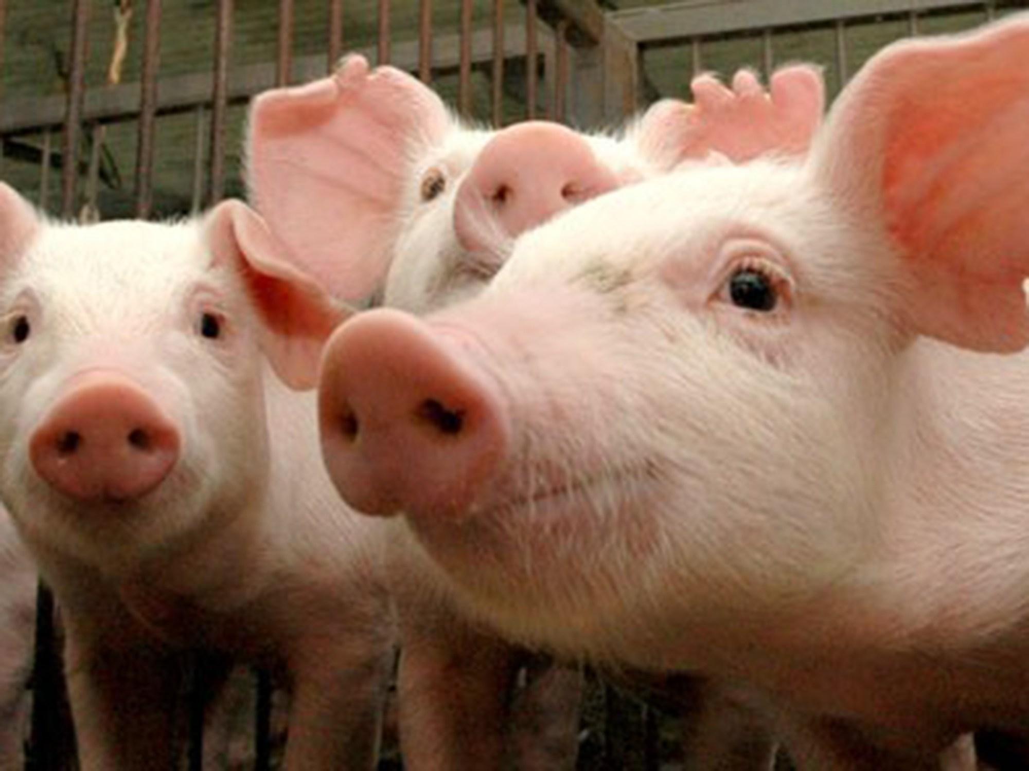 Mato Grosso é declarado livre de Peste Suína Clássica